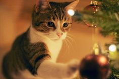 Today's lovely Christmas kitty is discovering the tree decorations!