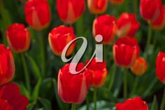 colorful tulips flowers field in springtime with low sun Sun Stock, Tulips Flowers, Spring Time, Royalty Free Images, Colorful, Red, Copyright Free Images