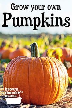 It's easy to grow and harvest perfect pumpkins—whether you want tiny, decorative pumpkins for a tabletop centerpiece or giant, prize-winning pumpkins. Here's everything you need to know about growing and harvesting pumpkins. Vegetable Gardening, Container Gardening, Gardening Tips, Grow Your Own, Pumpkin Decorating, Tabletop, Pumpkins, Centerpiece, Harvest