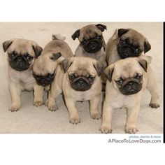 Pugs. Derived from aplacetolovedogs.com