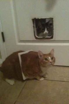 This cat who thought she'd take the quick route through the doggie door.   27 Cats That Immediately Regret Their Decisions