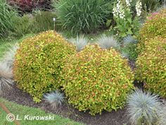 Spiraea japonica 'Walbuma' ('Magic Carpet') ®