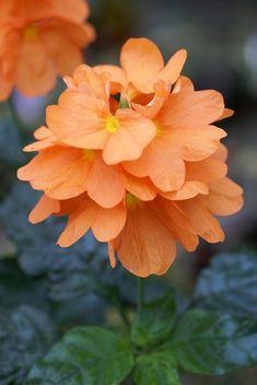 Crossandra (Firecracker Flower) - Tropical / tender perennial.  sun - part shade; blooms all season; must maintain constant soil moisture; good houseplant