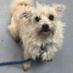 Oliver is an adoptable Wirehaired Terrier searching for a forever family near Richmond, IN. Use Petfinder to find adoptable pets in your area.