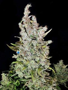 Bud of the day Today we show u a Haze bud with foxtails..