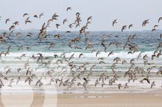 #Birding_in_Spain. Carnota is one of the bests places in Spain for waders. Find all the information to plan your trip to #Carnota in www.qnatur.com