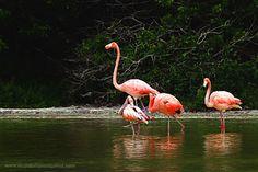 La región del sureste de México es un refugio natural de aves migratorias y Celestún, Yucatán es el principal lugar donde desova el flamenco rosado.  Las aguas bajas y el conocimiento de un guía local, me llevaron un remanso de agua donde caminaban con tranquilidad frente a mi lente miles de flamenco, en esta fotografía trate de aislar a un grupo que llamo mi atención. 2006.