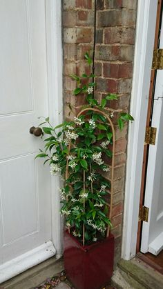 White Wings Jasmine by back door smells amazing!  July 15 2016