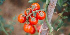 🍅 Φέτος, θα απολαύσουμε τις νοστιμότερες ντομάτες από τον κήπο και το μπαλκόνι μας... ζουμερές, γεμάτες άρωμα και γλυκιά γεύση! Growing Tomatoes, Stuffed Peppers, Fruit, Vegetables, Garden, Plants, Food, Garten, Stuffed Pepper