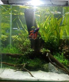 Fish For Sale, Beta Fish, Siamese Fighting Fish, Fish Farming, Betta, Aquarium, Thailand, Betta Fish, Goldfish Bowl