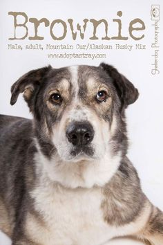 Brownie is an adoptable Mountain Cur searching for a forever family near Newport, KY. Use Petfinder to find adoptable pets in your area. Alaskan Husky, Husky Mix, Adoption, Pets, Newport, Searching, Mountain, Animals, Foster Care Adoption