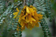 sophora microphylla, floraison fin d'hiver, mellifère