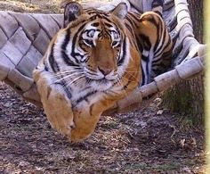 An hour outside of Cape Girardeau, Crown Ridge Tiger Sanctuary provides lifelong care for abused, neglected and wanted big cats. Scheduled tours are welcomed! They offer educational programs to increase awareness about their facility. VisitMO.com