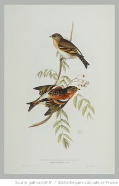 [Illustrations de The Birds of Europe, t. III, Insessores] / John Gould, Elizabeth Gould, Edward Lear, ill. - 39