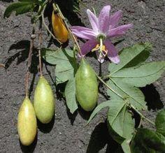 passiflora.mollissima divoce rostoucí druh lijany mučenka/maraquia, pokud ji uvidíte někde na stromě a bude žlutá tzn. zralá určitě ochutnejte.!