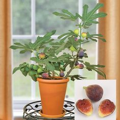 """Fig 'Petite Negra' (Ficus carica) Fruits at 12"""" and does great potted inside"""