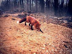 Лис Тор. Fox  (vk.com/petsfox)