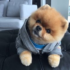 Curious (and cute) Pomeranian Cute Small Dogs, Super Cute Puppies, Baby Animals Super Cute, Cute Baby Dogs, Cute Little Puppies, Cute Dogs And Puppies, Cute Little Animals, Cute Funny Animals, Adorable Dogs
