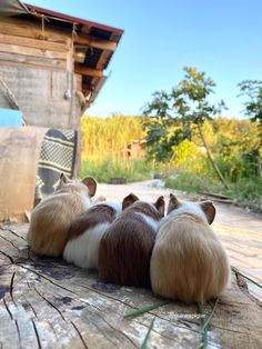 Colourful baby guinea pigs Baby Guinea Pigs, Outdoor Furniture Sets, Outdoor Decor, Color, Home Decor, Decoration Home, Room Decor, Colour, Home Interior Design