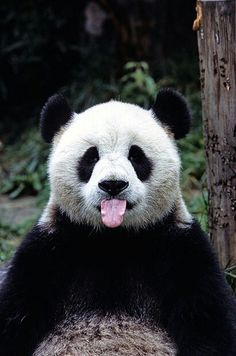 A panda with its tongue out! This panda got style