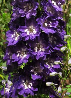 https://flic.kr/p/e5u99L | Purple delphinium | Under the rather contrasty light at the Philadelphia Flower Show - but a beautiful flower!