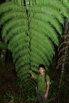 Growing in the Maligan Virgin Forest Reserve, Sipitang District, Sabah Fern wrangler: Jaito Unusual Plants, Rare Plants, Exotic Plants, Cool Plants, Bush Garden, Ferns Garden, Shade Garden, Fern Plant, Trees To Plant