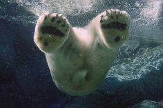 Polar bear, from below