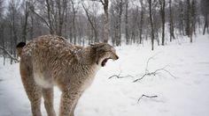 Endangered Norwegian Lynx.