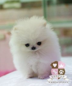 pomeranian puppies for sale in michigan ebay miniature tea cup poodles puppies cute dogs pomeranian 8648