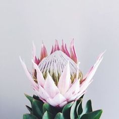 Perk Up Your Garden With These Handy Tips. Gardening is a fun and rewarding hobby with many benefits. It does not matter if you grow vegetables or flowers in your garden, growing and caring for the Protea Flower, My Flower, Flower Power, Protea Art, Blooming Flowers, Tropical Flowers, Casket Sprays, King Protea, Bloom Baby