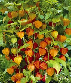 """Chinese Lanterns - collections, etc An unusual bulb that grows best in full sun to partial shade. Grows 18-24"""" tall and gets 12"""" wide. Will tolerate most soil types and is disease and pest free (even deer proof). Attracts hummingbirds and great for cut flower bouquets."""