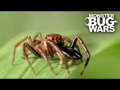 Green Jumping Spider Vs Long Jawed Jumping Spider | MONSTER BUG WARS - YouTube