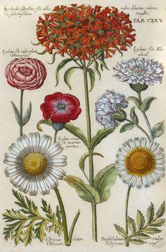 Michael Valentini - Chrysantheum  1719