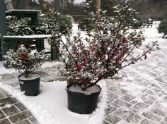 We have lots of Holly and Wreaths with Holly