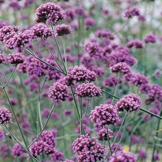 "Verbena bonariensis/ Tall Vervain - This is a tall growing ""see-through"" plant great for perennial borders.  This tender perennial  reseeds itself easily.  Very drought tolerant!"