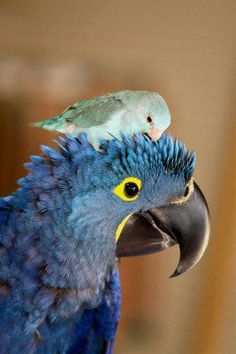 A Hyacinth Macaw and a Parrotlet