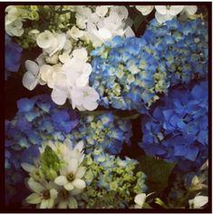 Hydrenga's: Chelsea Flower show