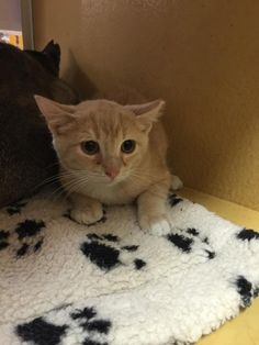 Sandy is a 4 month old male kitten looking for his forever home!! He is available for adoption through Texas Star Rescue and is in the indoor cat room at PetSmart in Longview, Texas #TSRadopt #cat #texasstarrescue #adopt #petsmart #rescue #helpsavealife #rescuedismyfavoritebre