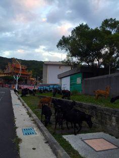 小琉球處處是驚喜 #一群只顧吃草的羊
