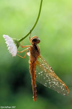 Dragonfly after the rain. If this doesn't look like a fairy...