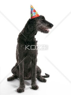 Looking Labradoodle - A Labradoodle with a Birthday hat looking away
