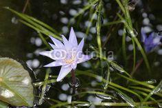 New on Fotolia #rose_im_wasser #see #rose #seepflanzen #seerose #seerosen #wasserblumen #wasserpflanzen