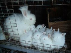 Breeding your angora rabbits (or any rabbit for that matter) takes a bit of preparation and planning before the breeding ever occurs.