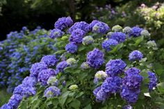 When to Prune Different Kinds of Hydrangeas