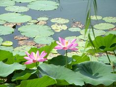 中国 蓮の花 池 - Google 検索
