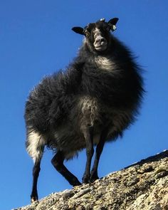 #villsau #sheep #Sørværet #Værlandet #Norway Norway, Sheep, Goats, In This Moment, Animals, Animales, Animaux, Animais, Goat