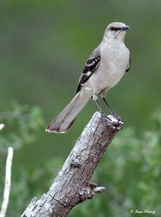 Mockingbird. My favorite. We have one in the neighborhood and it has quite an impressive repertoire.