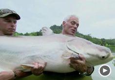 Huge cat-fish!