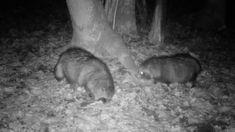 Kährik kährikukaameras / Nyctereutes procyonoides / Raccoon dog Wander, Trail Camera, Dogs, Nature, Animals, Image, Naturaleza, Animales, Animaux