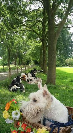 ♥Such pastoral beauty-Wire Fox Terrier farm views